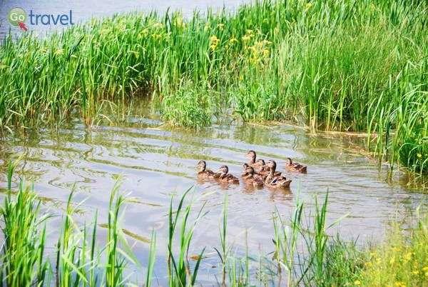 ברווזים בנחל ליד המסעדה  (צילום: כרמית וייס)