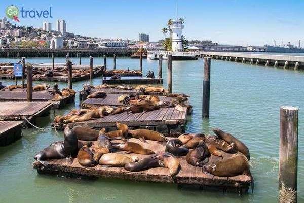 אריות ים ברציף 39  (צילום: John6536)