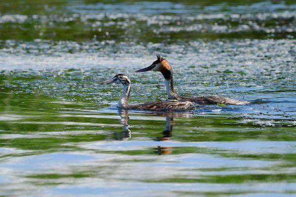 עופות מים על אגם פרספה  (צילום: orientalizing)