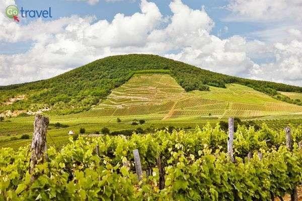 כרמים מסודרים, כמו בחלום, בחבל טוקאי (צילום: barta winery)