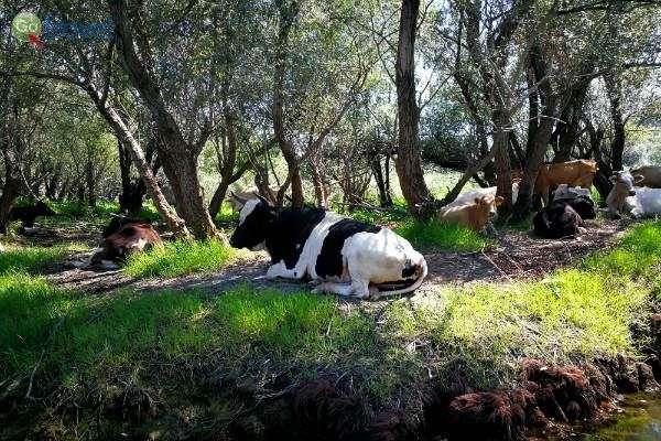 פרה רועה ב... לב האגם (צילום: ירדן גור)