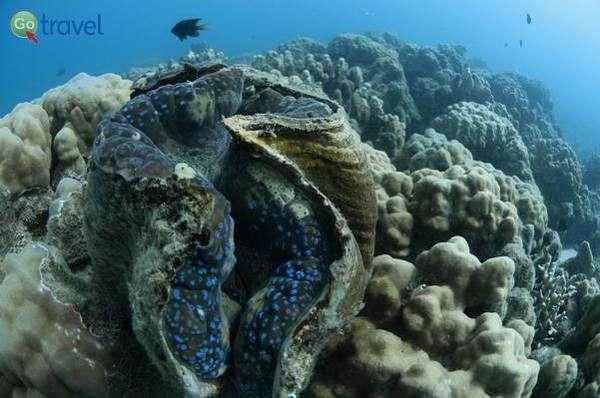 צדפה ענקית בגן העדן שמתחת למים (צילום: אורי מגנוס)