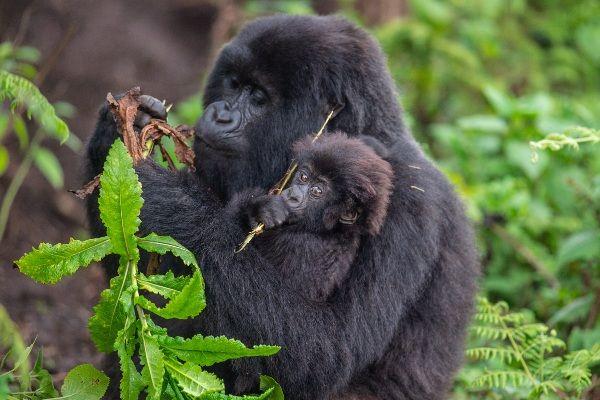 גורי הגורילות לא עוזבים את אמם בחודשים הראשונים לחייהם (צילום: Kwita Izina)