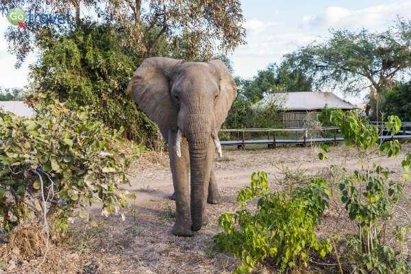 אורח שבא לרחרח אם יש פירות בסביבה (צילום באדיבות: Anabezi Camp)
