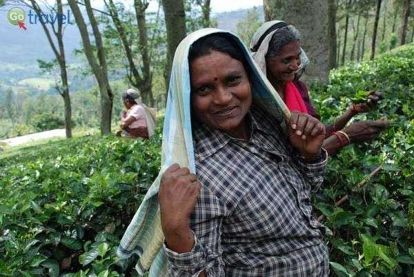 קוטפות התה של סרי לנקה  (צילום: ארנון רומן)