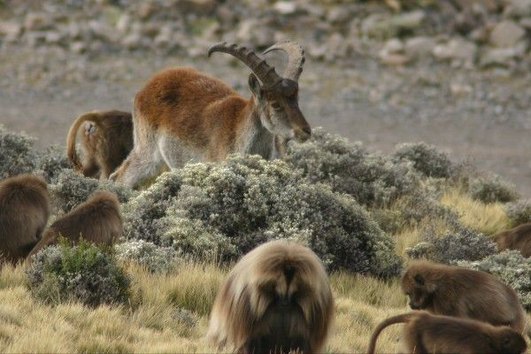 בהרי סימיאן ניתן למצוא מגוון רחב של בעלי חיים (Leonard A. Floyd)