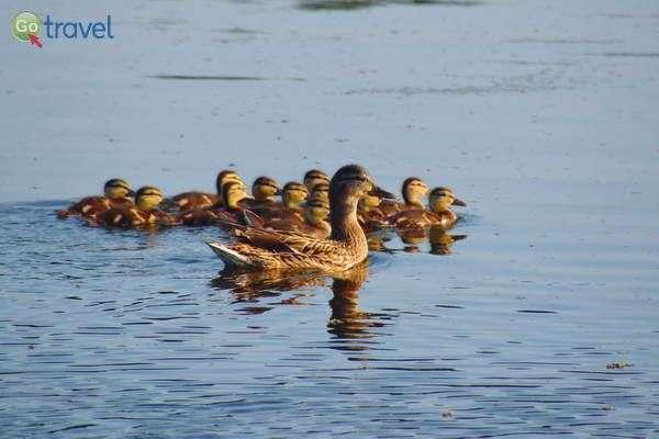 כמה ברווזונים קטנים יש לאמא ברווזה?   (צילום: כרמית וייס)