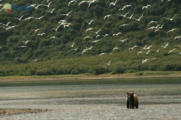 דוב משתעשע במים לפני שיוצא לצוד (צילום: עופר גלמונד)
