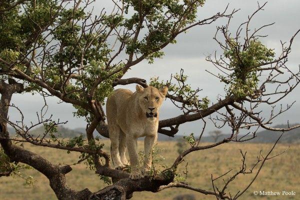 לביאה בשמורת אקאגרה (צילום: Matthew Poole)