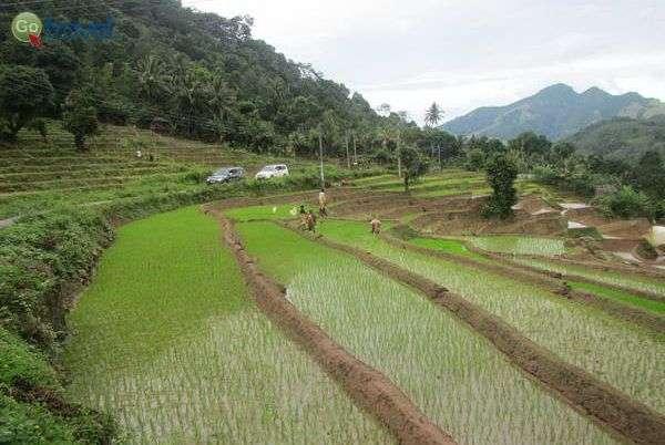 טרסות האורז של סרי לנקה (צילום: ארנון רומן)