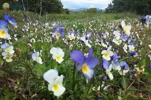 פרחי אמנון ותמר מלוא העין  (צילום: כרמית וייס)