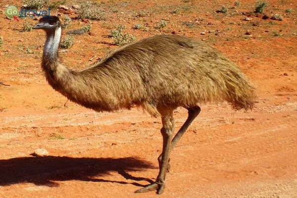 עוף ענק בשם אמו  (צילום: יפעת סלע)