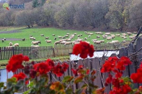"""הכבשים ש""""אחראיות"""" לגבינת הברינזה המקומית  (צילם: כרמית וייס)"""