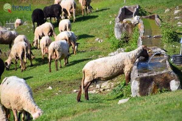 הכבשים והטלאים במרעה  (צילום: כרמית וייס)