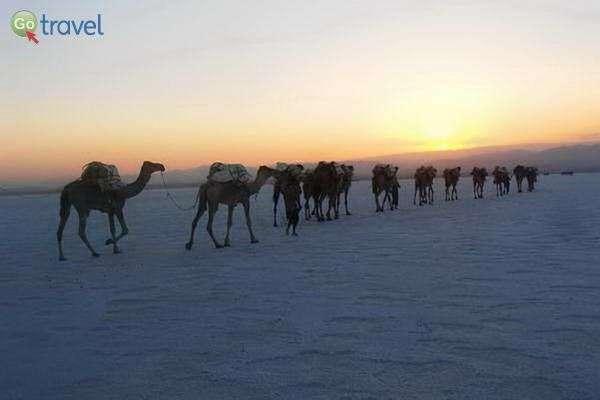 שיירת גמלים עמוסת קוביות מלח  (צילום: ציפי סרן)