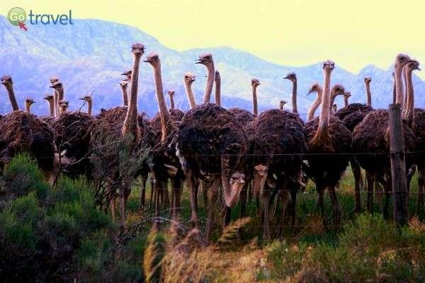 """חוות יענים בדרום אפריקה (צילום: ד""""ר רמי דברת)"""