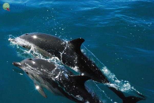 זוג דולפינים לצד הספינה  (צילום: Sara)
