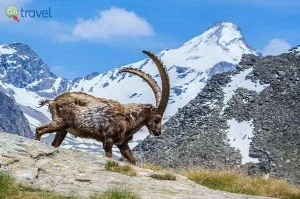 עז ההרים היא סמלו של הפארק הלאומי  (צילום: Fulvio Spada)