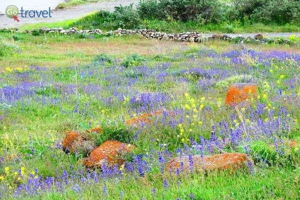 שדה נורית צהובה וברוניקה  (צילום: גלעד תלם)