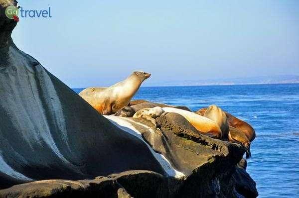אריות ים בחוף לה חוייה  (צילום: Jennifer Boyer)