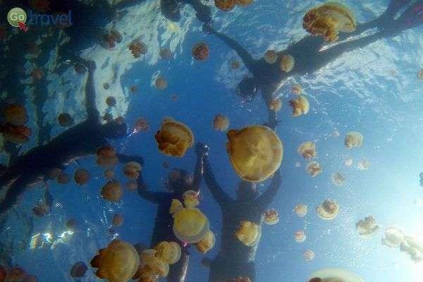 שנירקול באגם המדוזות הפלאי  (צילום: אמיר גור)