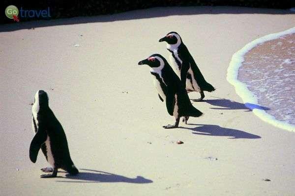 """פינגווינים מתנערים לאחר רחצת בוקר (צילום: ד""""ר רמי דברת)"""