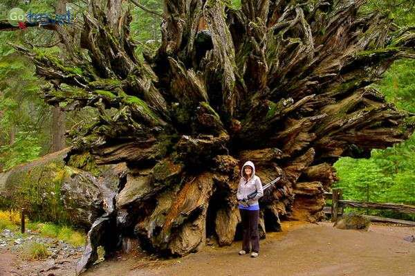 שורשי עץ סקויה ענק  (צילום: jenkinson2455)