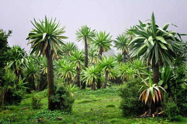 צמחי לובליה ענקיים מנקדים את כל רחבי הפארק (צילום: Rod Waddington)