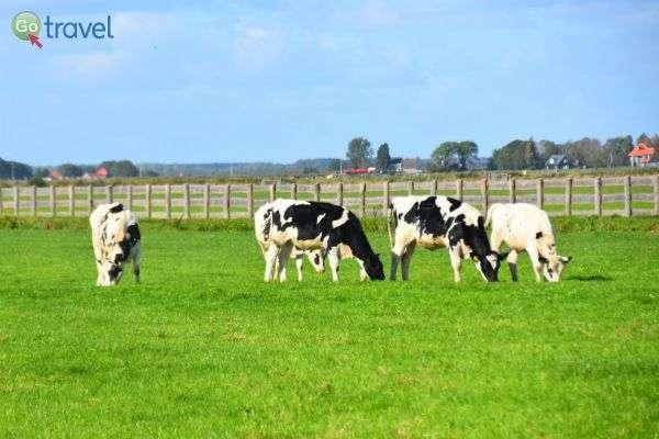 פרות רועות לצד הכביש (צילום: רמי דברת)