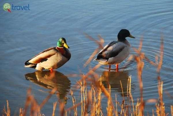 ברווזים שבאו ליהנות משאריות הבגט שלנו  (צילום: כרמית וייס)
