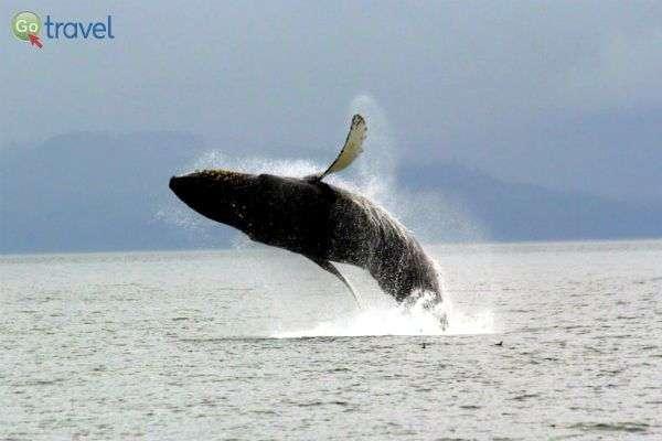 נדידת לווייתנים באלסקה (צילום: עופר גלמונד)