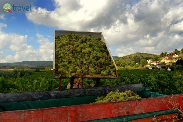 בציר הענבים בחבל קטלוניה  (צילום: Angela Llop)