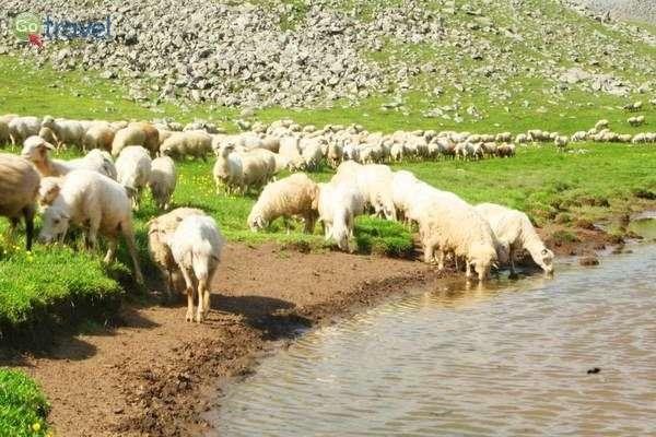 עדרי כבשים ממלאים את ערבות הקווקז הנמוך לעת קיץ  (צילום גלעד תלם)