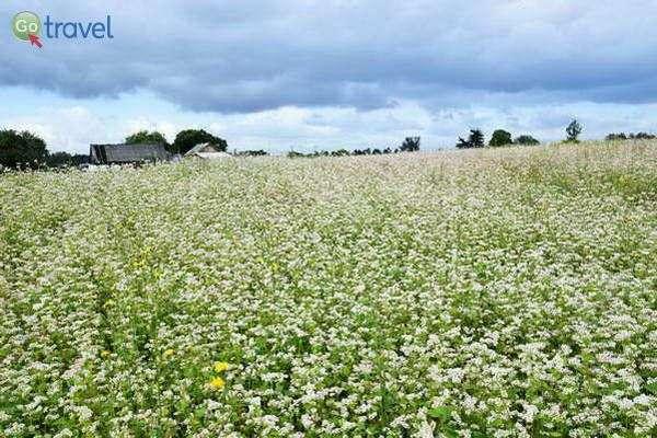 שדה כוסמת פורח בלבן  (צילום: כרמית וייס)