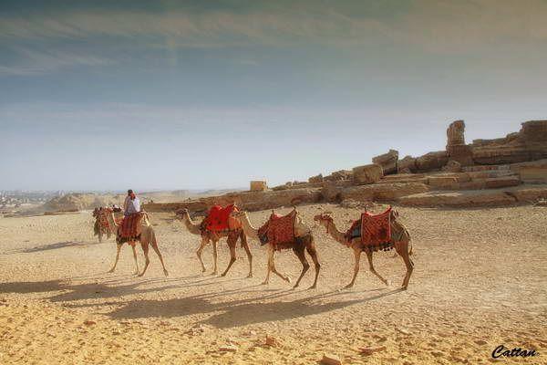 שיירת גמלים בגיזה (צילום: cattan2011)