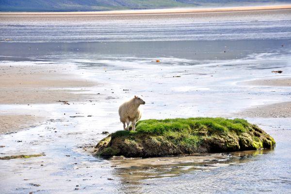 כבש על חוף החולות האדומים (צילום: נטע קלימי עילם)