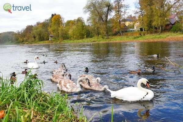 ברווזים וברבורים מחכים שיאכילו אותם  (צילום: כרמית וייס)