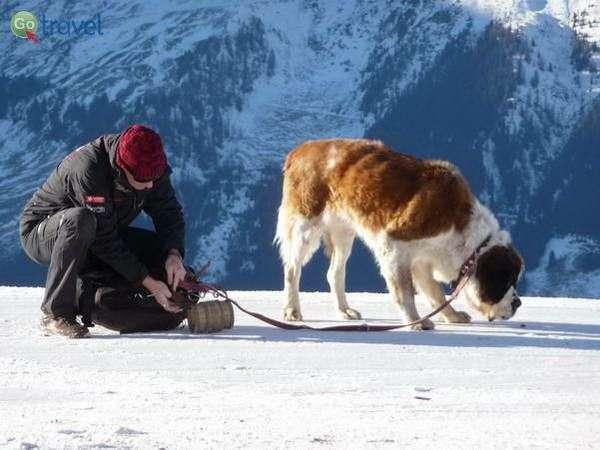 כלב סן ברנרד, אחד מסמלי הקנטון (צילום: Patrick Nouhailler)