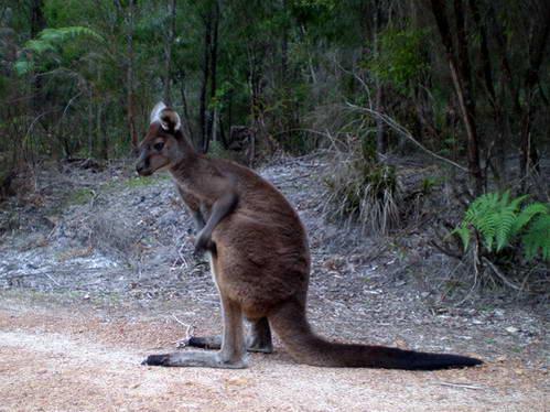 חבר אוסטרלי