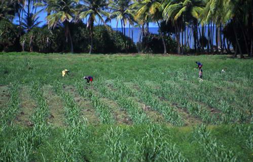 שדות קנה סוכר בגרנדה