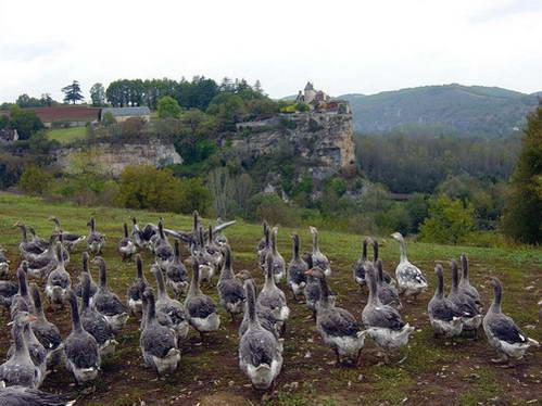 האווזים של הדורדון לפני שהם מגיעים לצלחת
