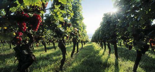 דרך היין של אלזס