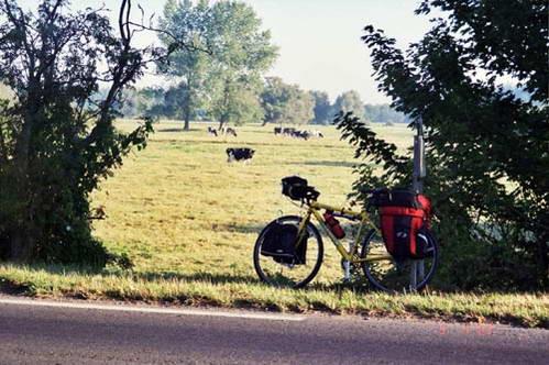 פרות לצידי כביש 514-D בדרך לחוף יוטה