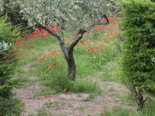 פריחה בין מטעי זית באיטליה