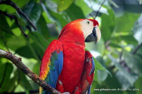 סקרלט מקאו ביער הגשם הדרום אמריקאי