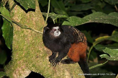 קוף הינשוף הלילי ביער האמזונס, פרו