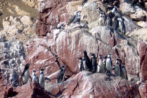 פינגווינים בשמורת פאראקס, גלאפגוס לעניים, פרו