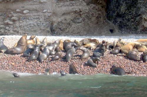 אריות ים בשמורת פאראקס, גלאפגוס לעניים, פרו