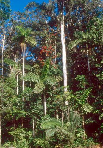 צמחייה של יער הגשם הטרופי בפרו