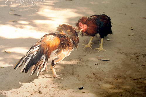 קרב תרנגולים